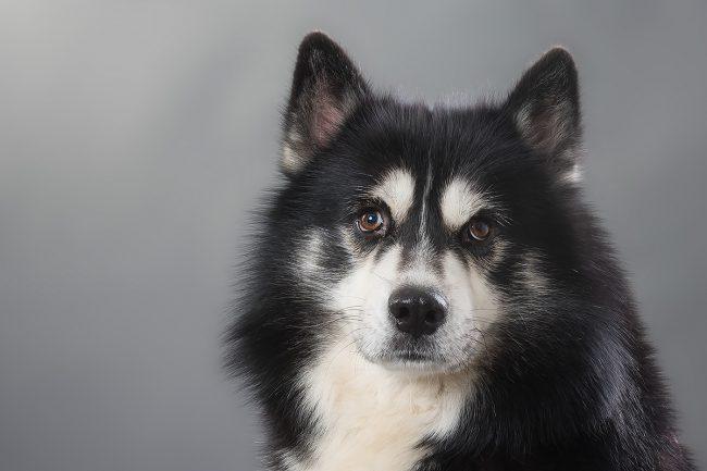 Husky - Tierfotografie in Mayen